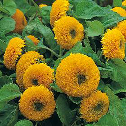 "Sungold Dwarf ""Teddy Bear"" - UN"