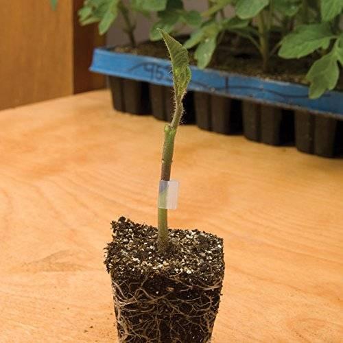 Maxifort F1 Tomato Rootstock.