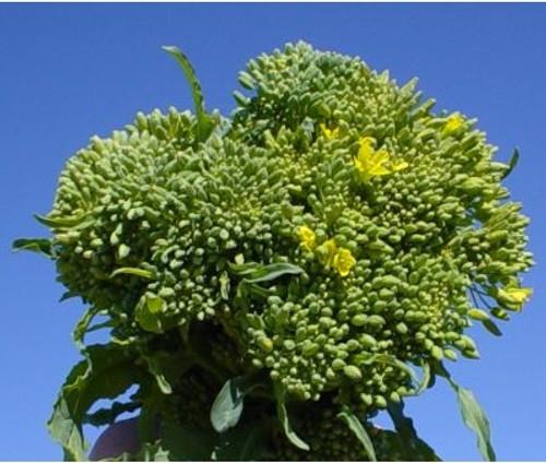 Broccoli RAAB (Spring Rapini) - UN