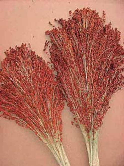 Red Broom Corn - UN
