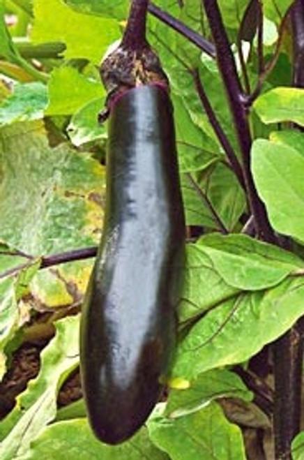 Millionaire F1 Eggplant - UN