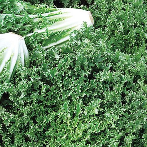 Salad King (endive) - UN