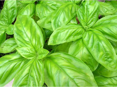 Basil - Sweet (Italian Large Leaf) - UN