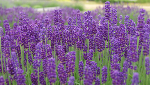 Lavender - UN