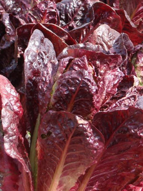 Super Red Romaine - UN
