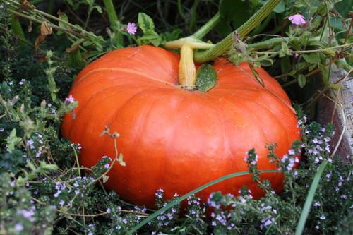 Cinderella Pumpkin.