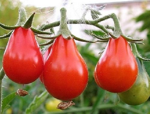 Red Pear - UN