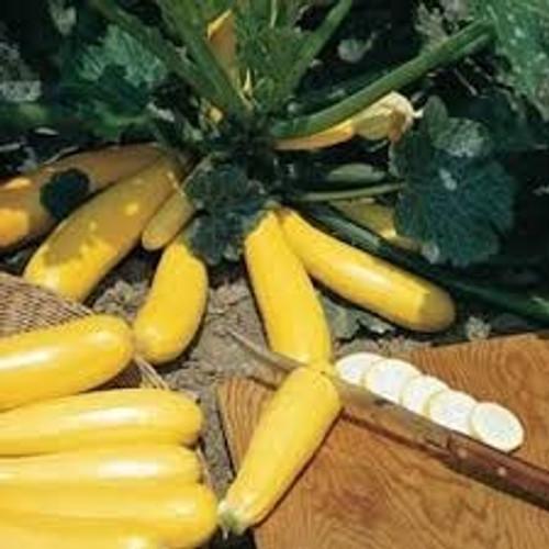 Burpee Golden Zucchini - UN