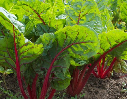 Rhubarb (Ruby Red) - UN