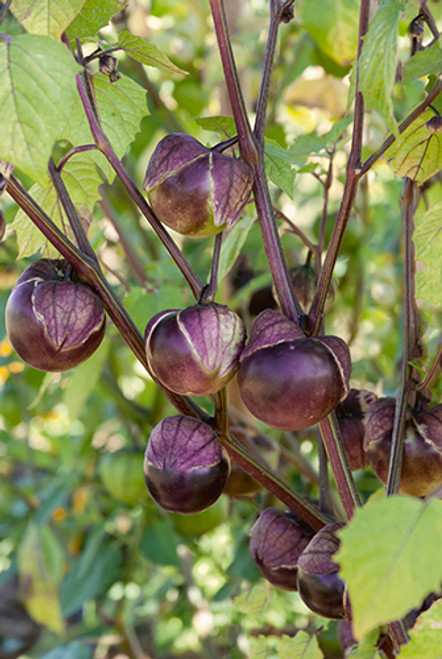 Really Purple Tomatillo F1