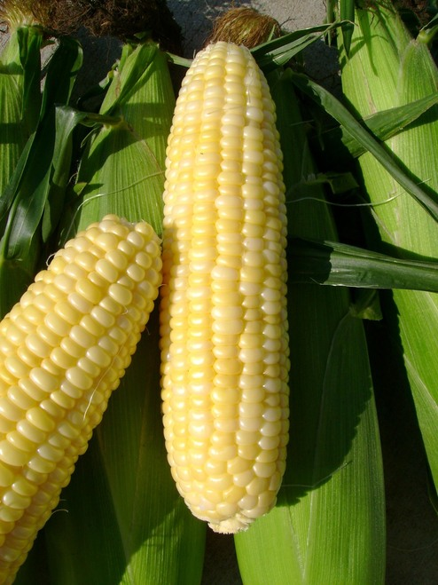 Inferno F1 Sweet Corn