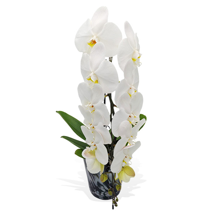 Formidable Orchids