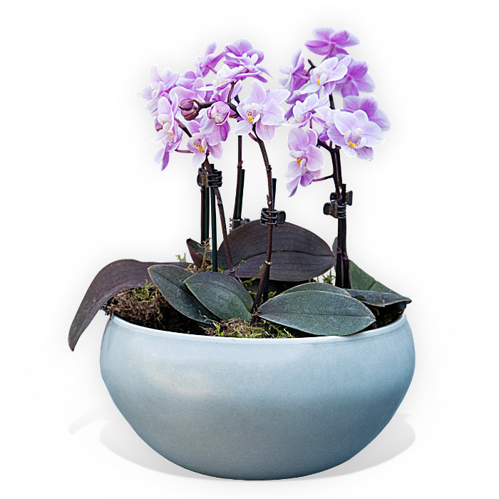 Orchids In A Bowl