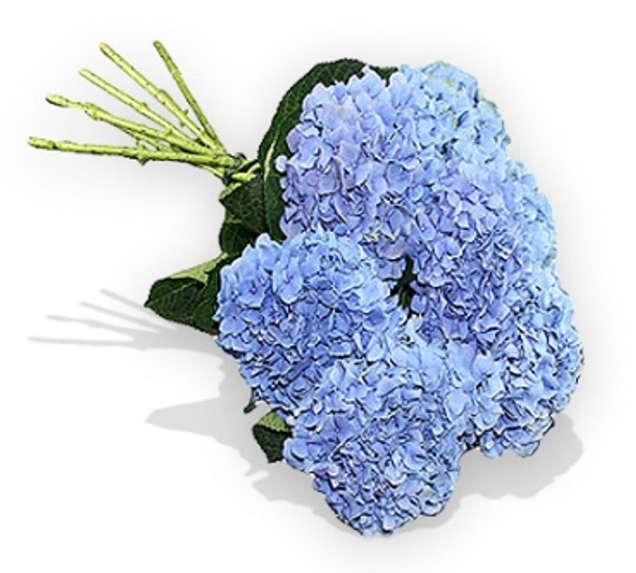 7 Extra Large Blue Hydrangeas
