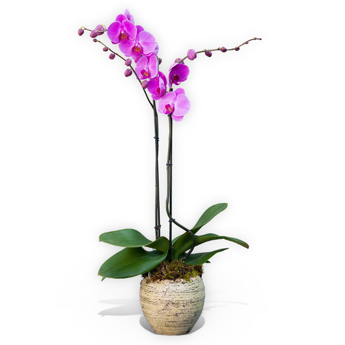 Double Stemmed Pink Orchid