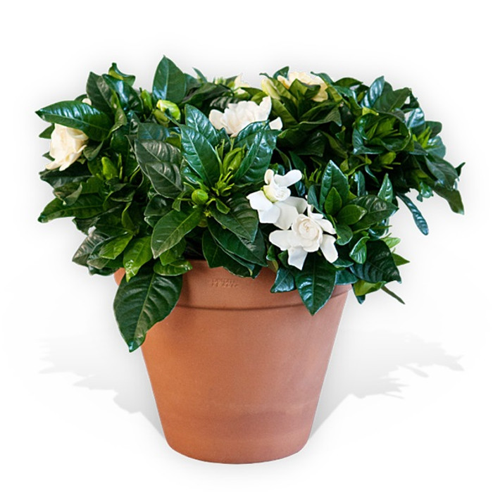 Gardenia and Terracotta