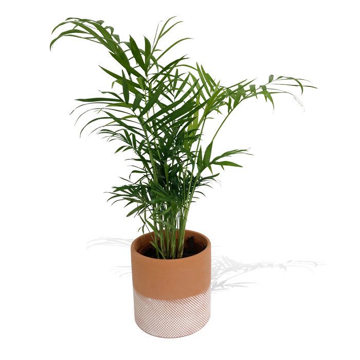 Potted Kentia Palm