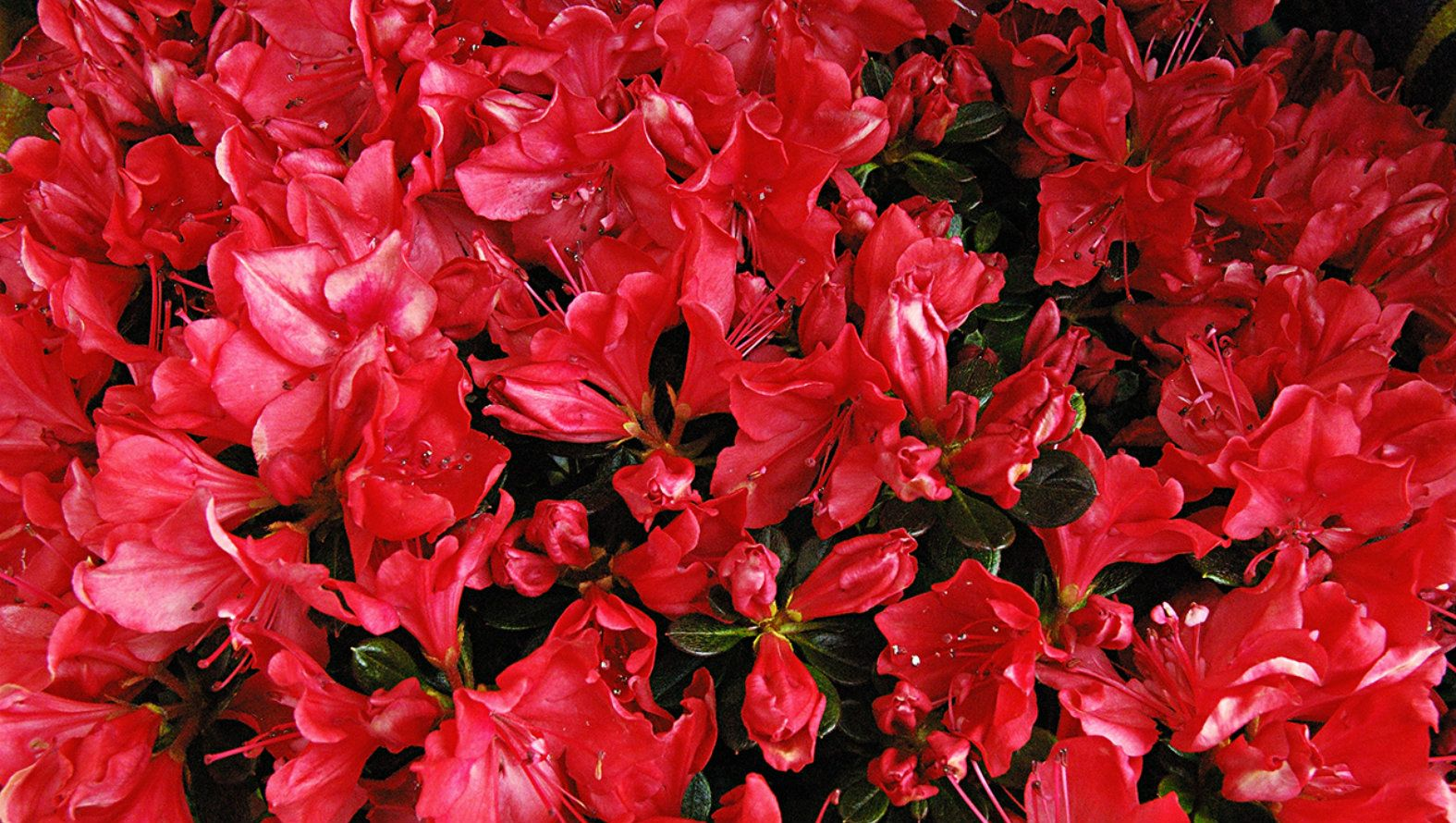 black-and-red-flowers.jpg