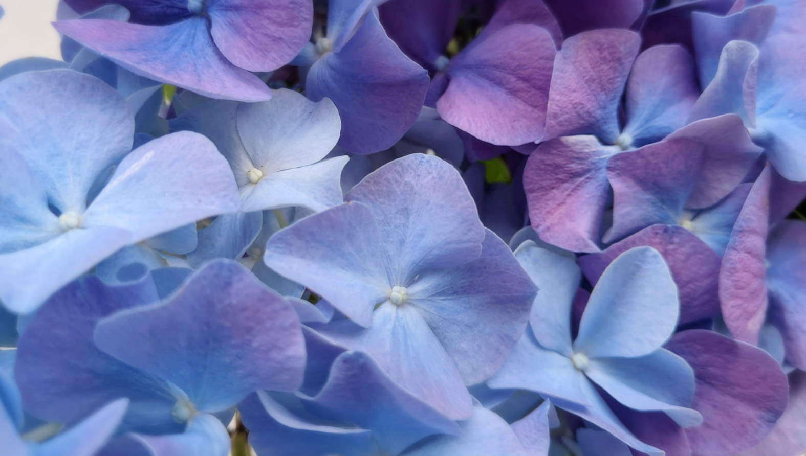 blue-hydrangea-2021-full.jpeg