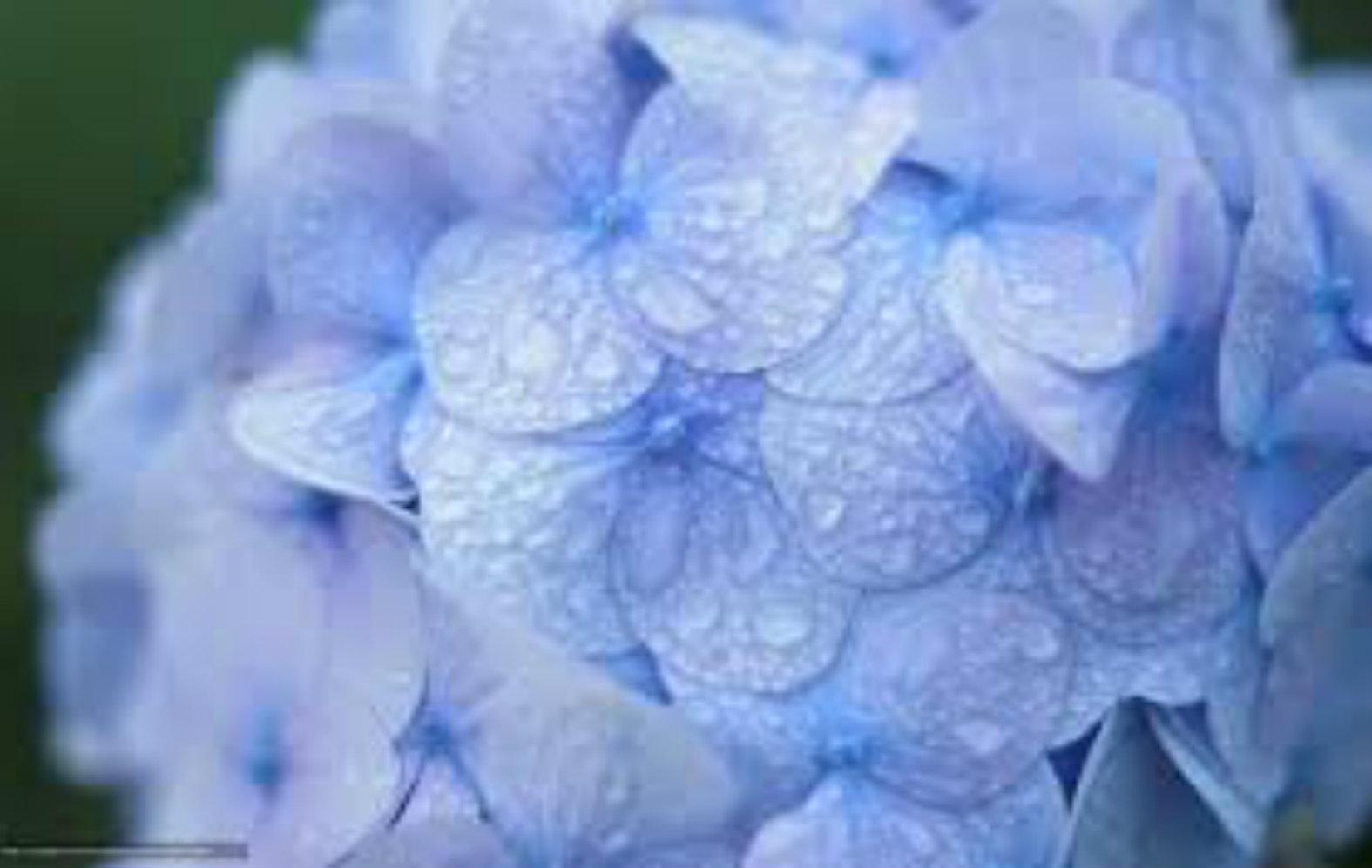 blue-hydrangea.jpg