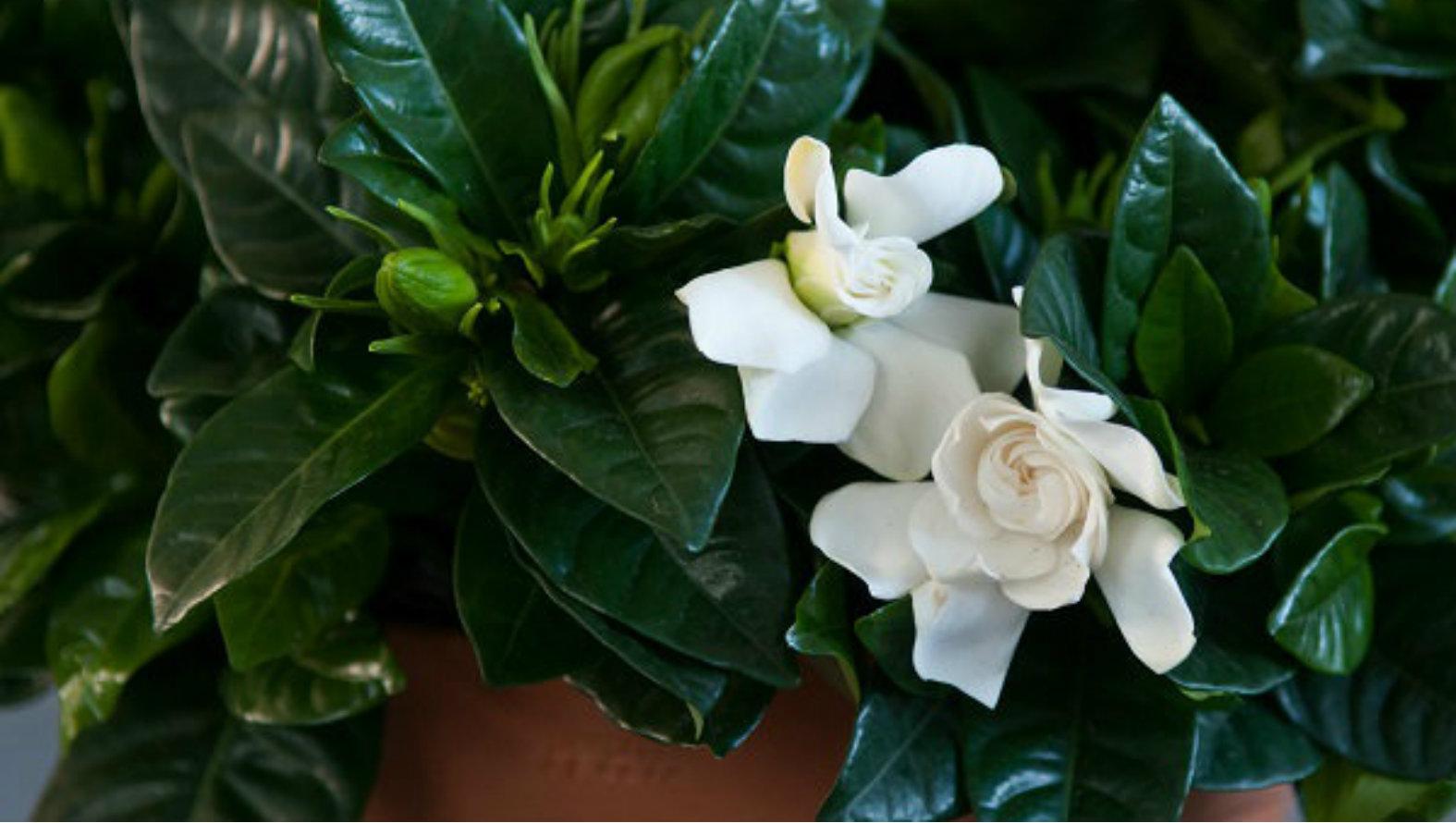 gardenia-top.jpg