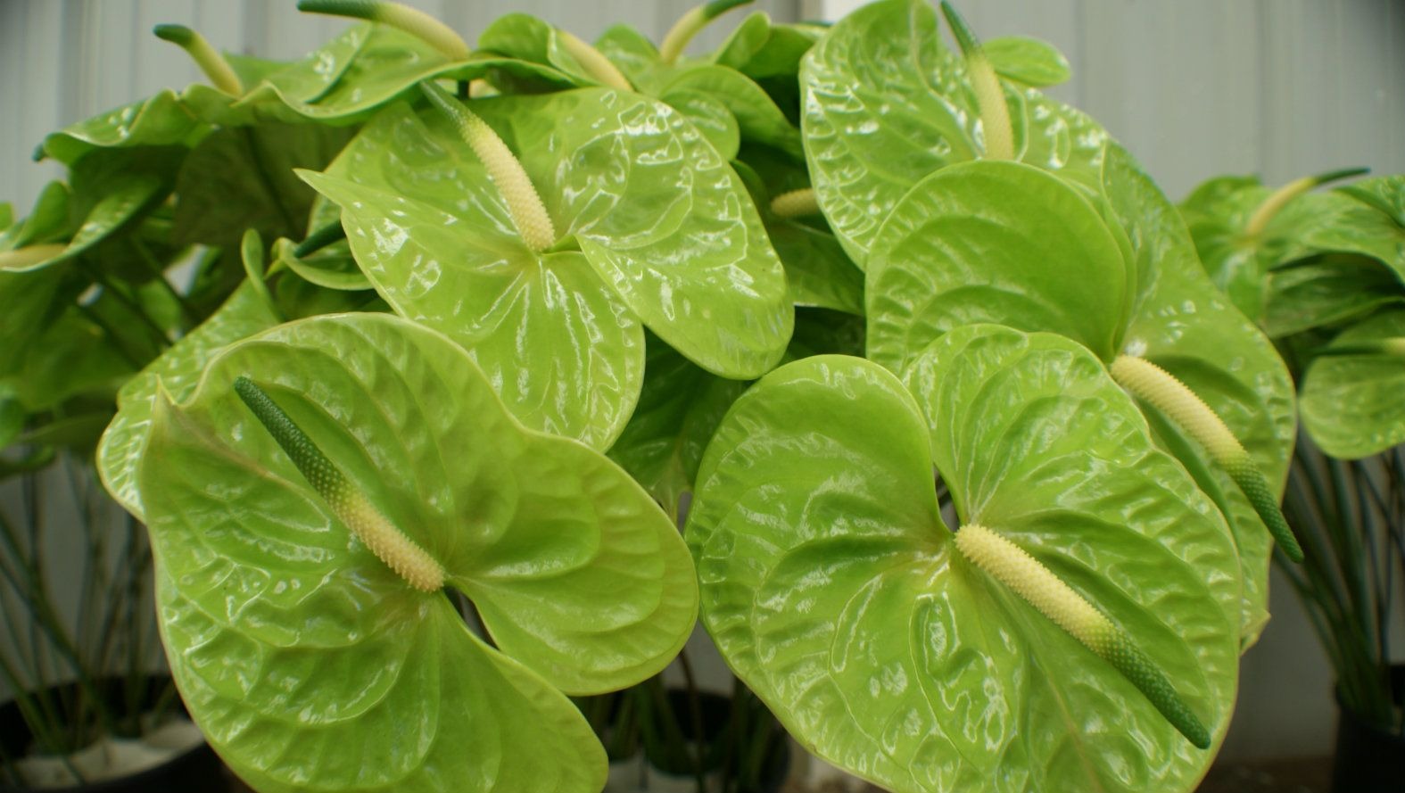 green-anthurium.jpg