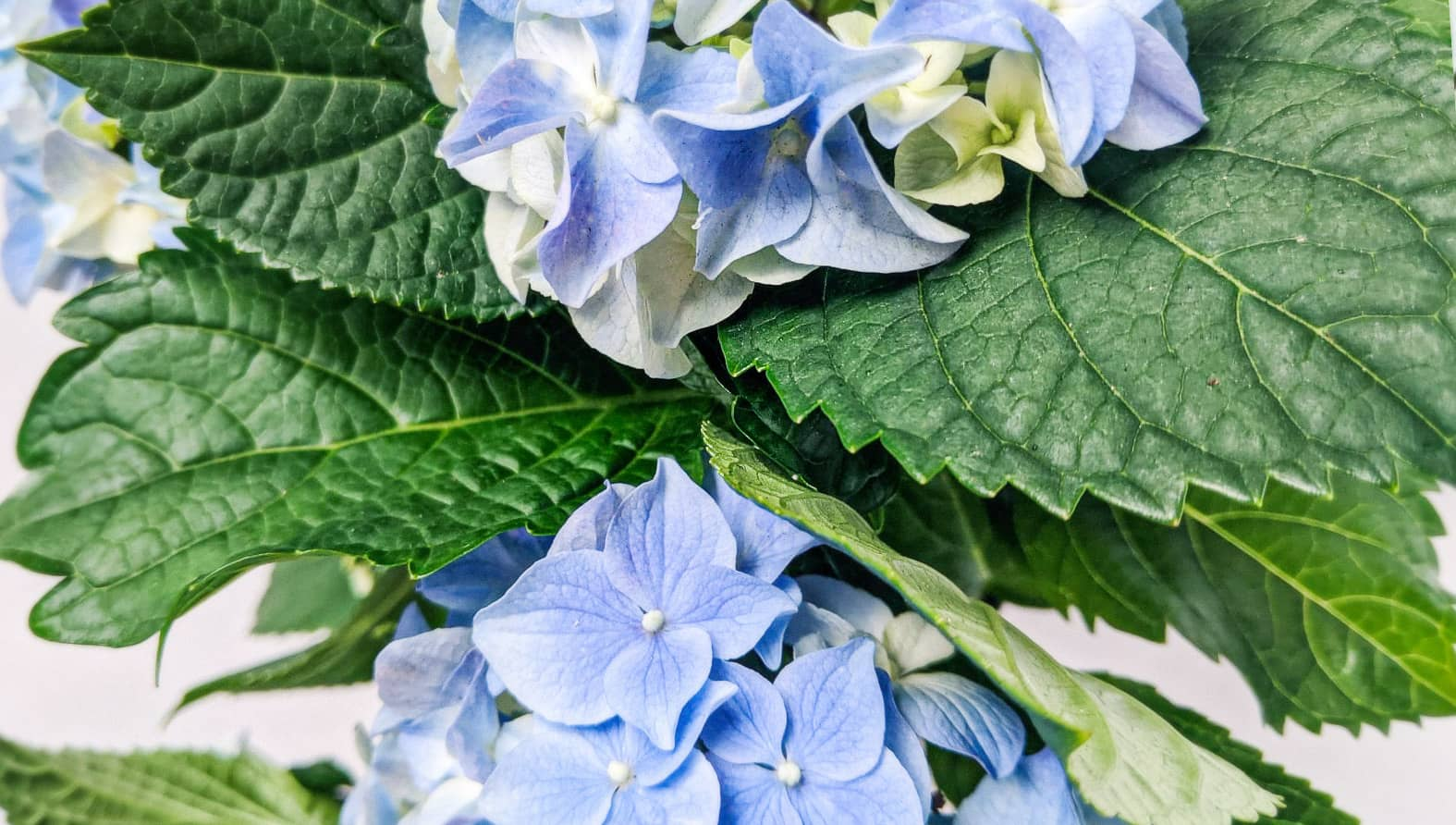 hydrangea-blue21-web-full-px.jpg