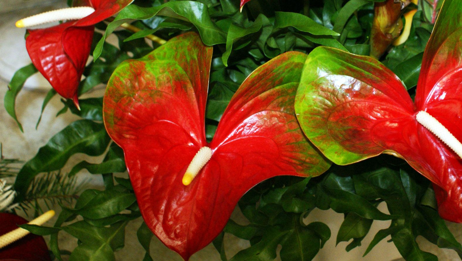 red-and-white-anthurium.jpg