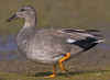 Reference photo of a Gadwell Duck for color purposes.