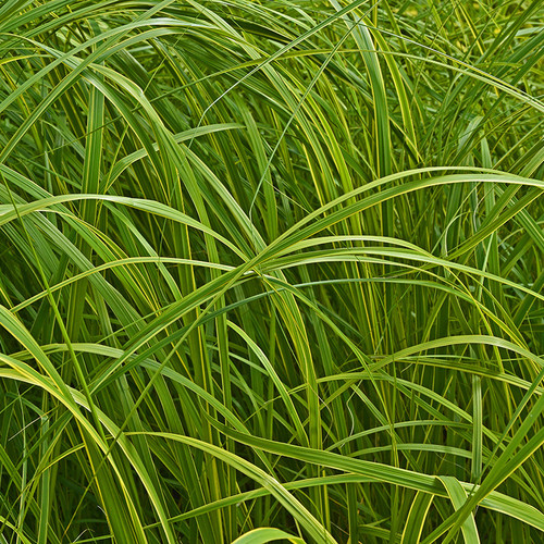 Carex dolichostachya Kaga Nishiki