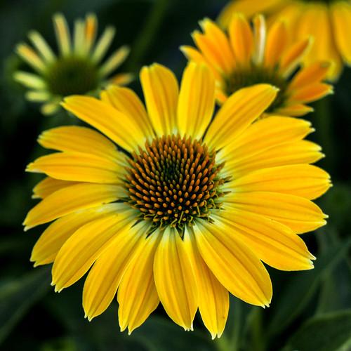Echinacea Sombrero® Summer Solstice PP31818