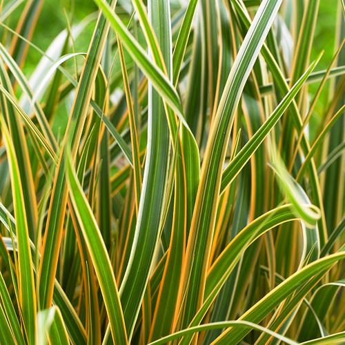 Carex morrowii EverColor® Everglow PP30466