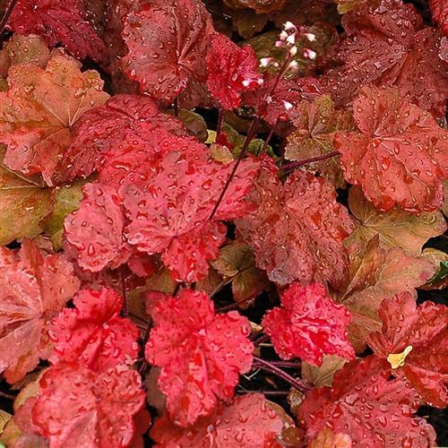 Heuchera Autumn Leaves  PP22103