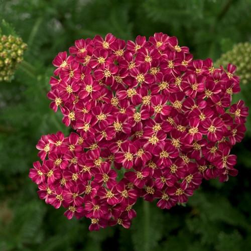 Achillea Desert Eve™ Deep Rose