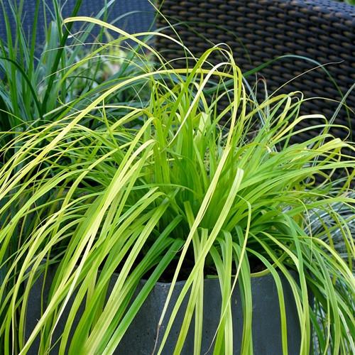 Carex oshimensis EverColor® Everillo PP21002