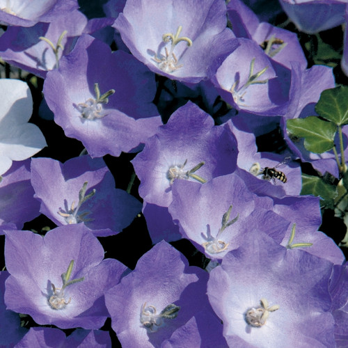 Campanula carpatica Pearl Deep Blue