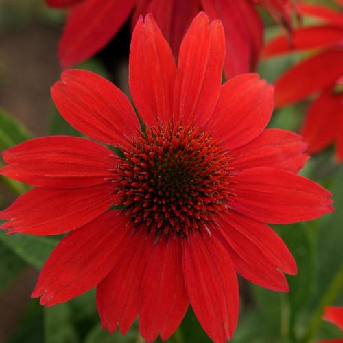 Echinacea Sombrero® Salsa Red PP23105