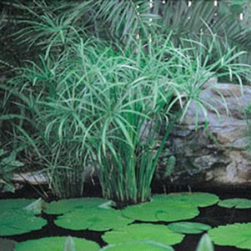 Cyperus involucratus Umbrella Palm