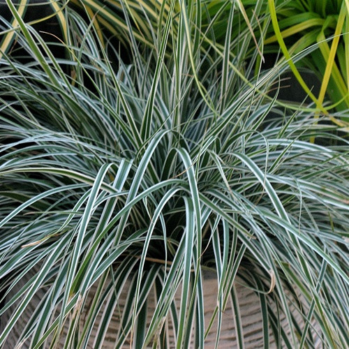 Carex oshimensis EverColor® Everest PP20955