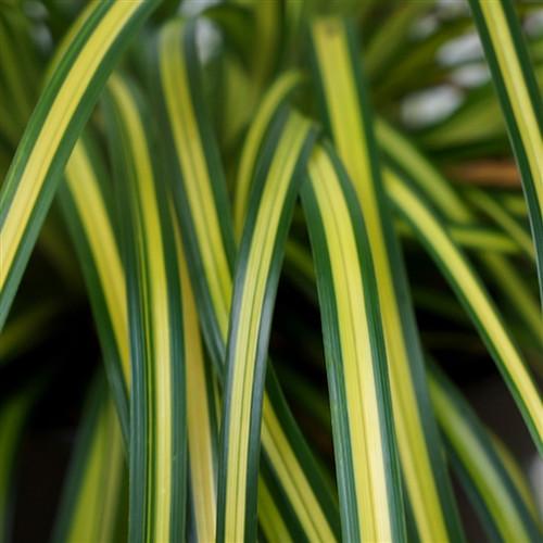 Carex oshimensis EverColor® Eversheen PP25938
