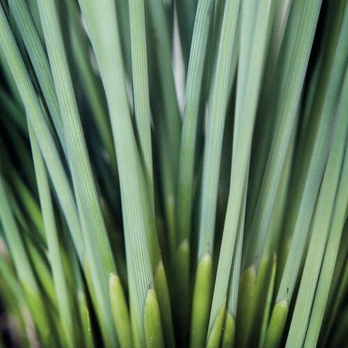 Juncus inflexus (Fantastic Foliage Blue Arrows™)