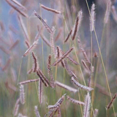 Bouteloua gracilis Honeycomb PP33101