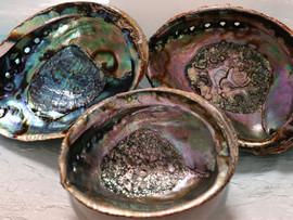"""Abalone Shell 6"""""""