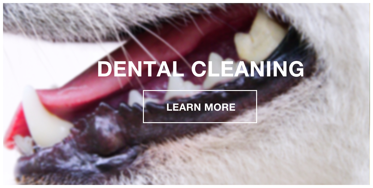K9 Loft Dental Cleaning