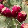 Mini Prickly Pear Marmalade 1.5oz