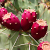 Prickly Pear Cactus Shaped Candy 3oz