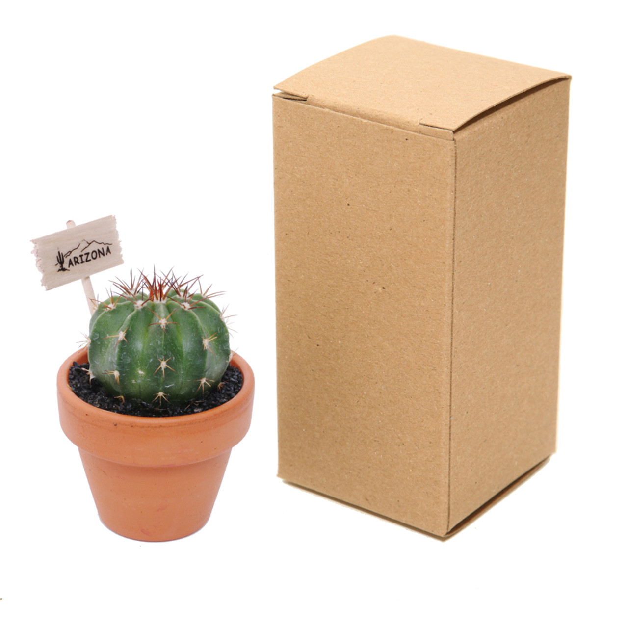 Mini Cactus in TerraCotta