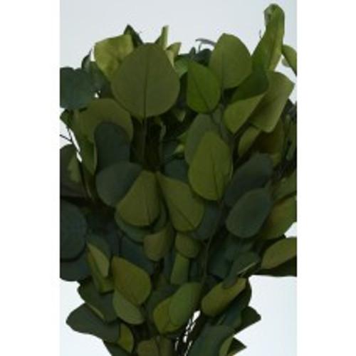 Eucalyptus Populus Preserved