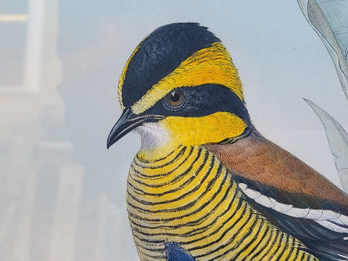 "Rare J Gould Litho Pitta Schwaneri Print ""Birds of Asia"" Walter & Cohn Framed"