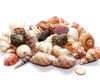 2 Lbs of Indian Ocean Shell Mix Wedding Shells, Free Shipping